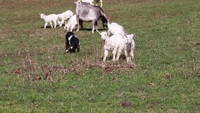 A few white goats with kids on the field