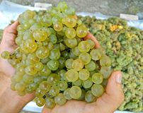 A few white grapes in the hand close up royalty free stock images