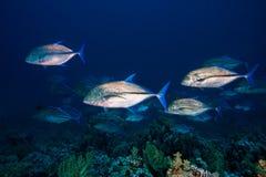 Few wielki Bluefin trevally ryba Caranx melampygus zdjęcie royalty free