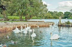 Swans and wild birds walking and swimming in the park. A few wild birds, geese, swans and other birds being fed and pampered in a park Royalty Free Stock Photo