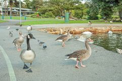 Wild birds walking and swimming in the park. Stock Photography