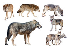 Few wolves. Isolated  on white Royalty Free Stock Image