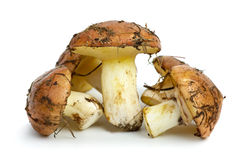 Few yellow boletus Stock Image