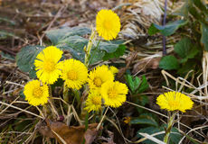 A few yellow flowers Coltsfoot Royalty Free Stock Images