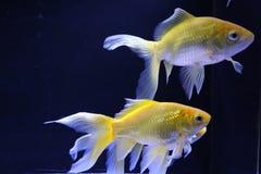 Few yellow goldfish royalty free stock photo