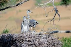 Young heron. A few of yong herons stay in nest on pine tree. Scientific name: Ardea cinerea Stock Photo
