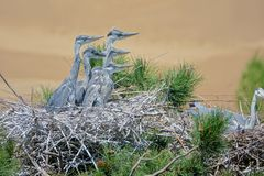 Young heron. A few of yong herons stay in nest on pine tree. Scientific name: Ardea cinerea Stock Image