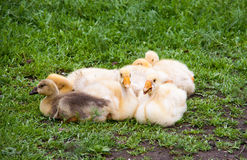 Few young goose lying on the grass in  yard Royalty Free Stock Photos