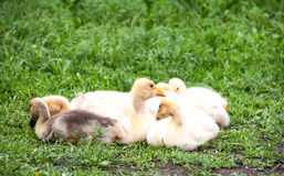 Few young goose lying on the grass in  yard Stock Photography