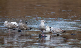 Few young seagulls Royalty Free Stock Image