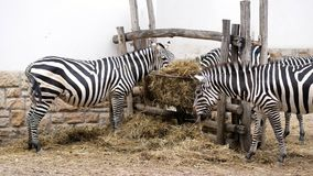 A few zebras eat straw.  stock footage