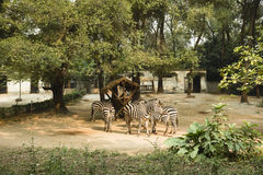 A few zebras Stock Photos
