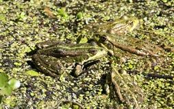 Few zielone żaby na stawie Obraz Stock