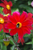 Fewerfew flower. With bud and bumblebee Royalty Free Stock Images