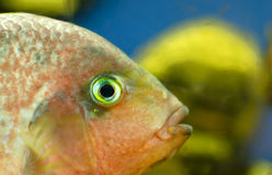 Ffish in an aquarium Stock Images