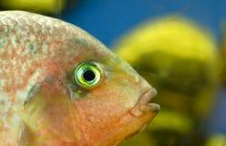 Ffish i ett akvarium Arkivbilder