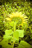 Öffnen Sie Sonnenblume Lizenzfreie Stockbilder