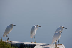 Ffour Egrets At End Of Day Royalty Free Stock Photo
