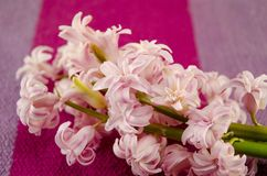 Ffresh flowers hyacinths on coloured tablecloth Royalty Free Stock Image