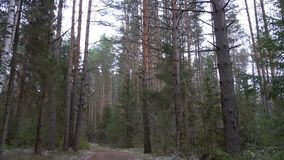 Ffrozen dirty trail in the pine forest stock footage