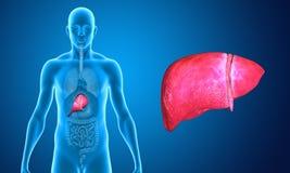 fígado Imagens de Stock