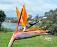 Fågel av paradisblomman i vår på Oneroa, Waiheke ö Fotografering för Bildbyråer