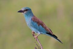 Fågel för europeisk rulle Arkivfoto