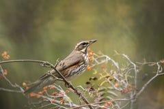 Fågel för RedwingTurdusiliacus Arkivfoto