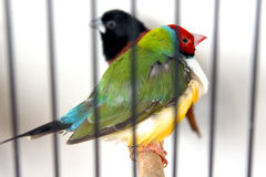 Fågel i bur Royaltyfri Bild