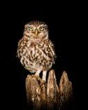 fågel som 3d fäster little över white för skugga för owlbanaframförande ihop Arkivbilder