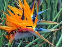 fågeln blommar paradis Royaltyfri Foto