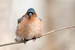 Fågeln är bofinken som sjunger i skogen i vår Fotografering för Bildbyråer