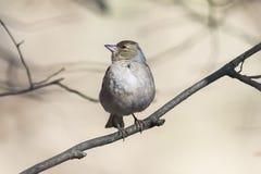 Fågeln är en kvinnlig bofink som sjunger i skogen i vår Royaltyfri Bild