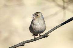 Fågeln är en kvinnlig bofink som sjunger i skogen i vår Royaltyfria Bilder