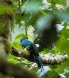 fågelquetzal Fotografering för Bildbyråer