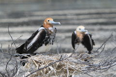 Fågelungar för tonåring för fregattfågel Arkivbild