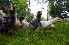 fågelungar som matar den små yttersidan Royaltyfri Foto