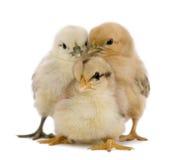 fågelungar tre Arkivfoto