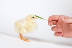 Fågelunge och hand Fotografering för Bildbyråer