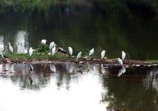 Fåglar i dammet; naturlig skönhet Arkivbild