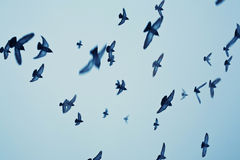 Fåglar i flykten Arkivbild