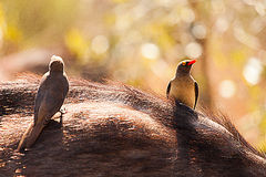 Fåglar och buffel Arkivfoto
