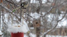 Fåglar talgoxen som pickar frö i vintern ut ur en hatt av Santa Claus stock video