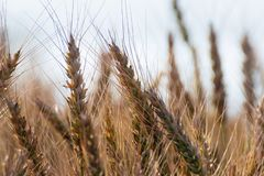 Fheat grass in the field close take, wheat grass ready for harvest stock photo