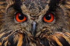 Führen Sie Gesichtsporträt des Vogels, der großen orange Augen und der Rechnung, Eagle Owl, Bubo Bubo, seltenes wildes Tier im Na Lizenzfreie Stockfotografie