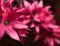 Fiamma del drago, fiore d'emorraggia di Glorybower immagini stock