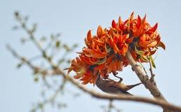 Fiamma del monosperma del Butea della foresta in piena fioritura in Dacca, Bangladesh Fotografia Stock Libera da Diritti