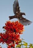 Fiamma del monosperma del Butea della foresta in piena fioritura in Dacca, Bangladesh Immagine Stock Libera da Diritti