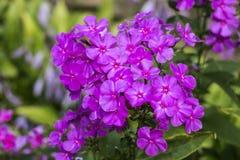 Fiamma porpora dei fiori del flox Immagine Stock