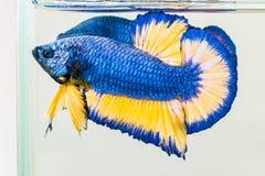 Fiammata del pesce di Betta Immagini Stock Libere da Diritti